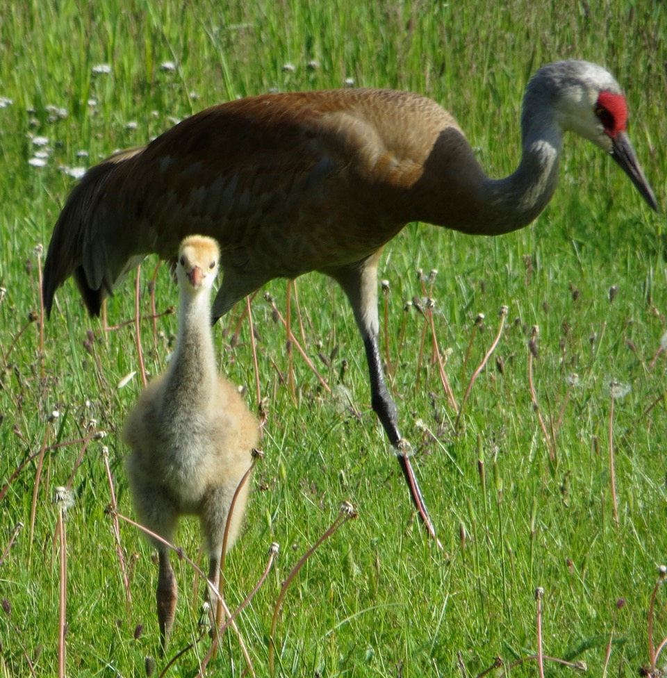 This month the Greater Sandhill Cranes will start to migrate to the Yampa Valley.