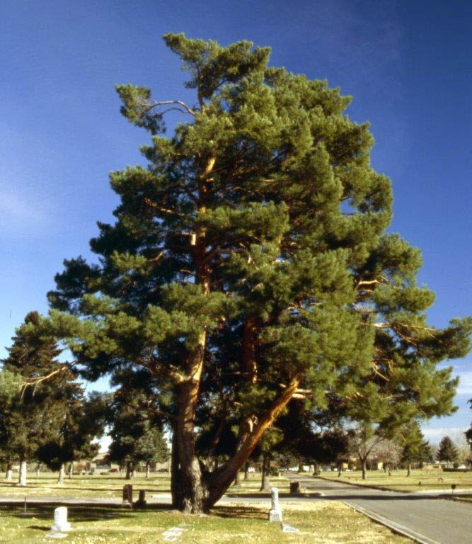 This Scotch pine tree at the Crown Hill Cemetery in Wheat Ridge is listed on the national list of champion trees.