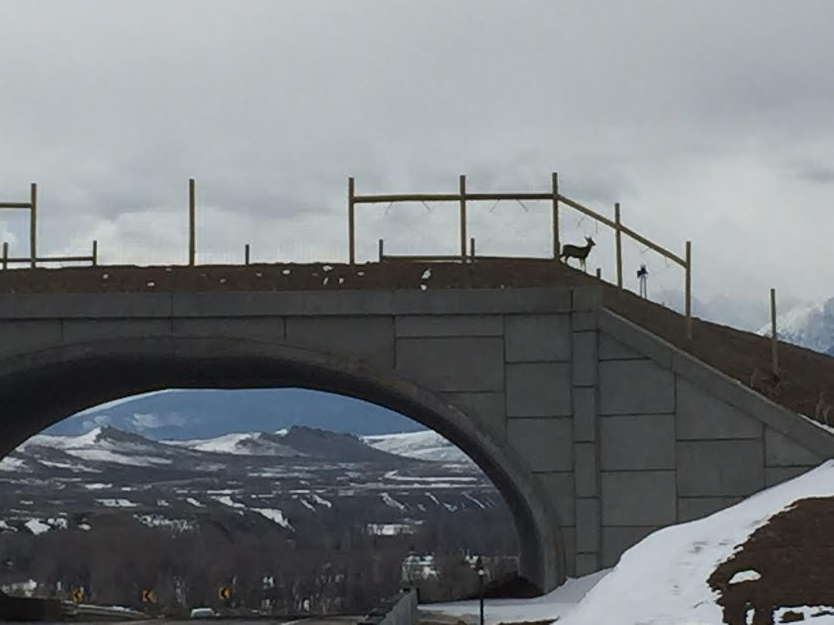 A deer uses a new wildlife overpass to safely get across Highway 9 south of Kremmling. State Transportation Chairwoman Kathy Connell said the project has greatly reduced the number of animal deaths and vehicle-versus-wildlife accidents on the stretch of highway.