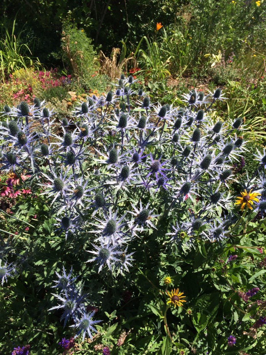 Sea holly growing in a Steamboat Springs garden.