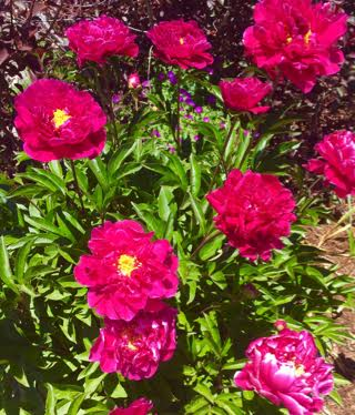 Peonies on the Yampa River. Submitted by Sheila Phillips.