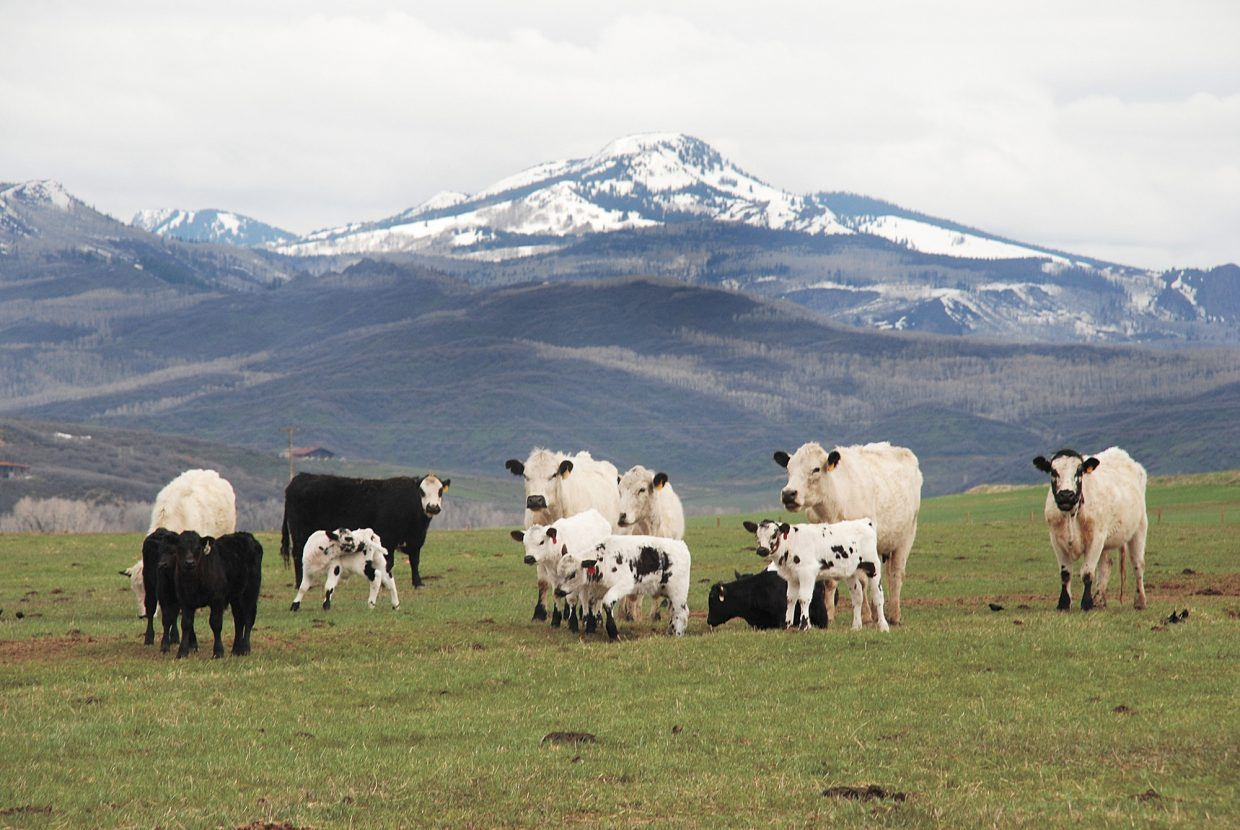 Cows and their 4- to 7-week-old calves graze on the new spring grass with Sand Mountain in the background at the former Warren Ranch leased by Matt and Christy Belton. This photograph was taken by Tom Ross and appeared in the May 19, 2008, edition of the Steamboat Today.