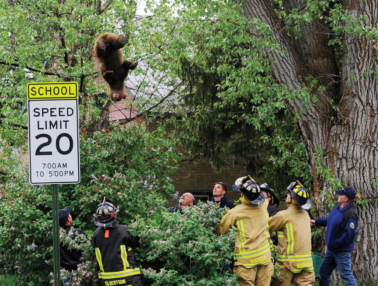 Firefighters and Colorado Parks and Wildlife officers hold a tarp to catch the falling black bear in downtown Steamboat Springs. The photograph was taken by Matt Stensland and appeared in the May, 24, 2012, edition of the Steamboat Today.