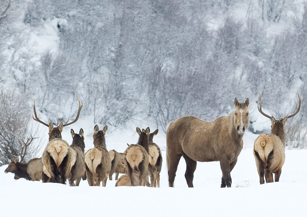 A herd of elk that stopped by a pasture normally occupied by horses made for a humorous photographic opportunity for Steamboat Today photographer John F. Russell. He captured this moment, and it was published in the Feb. 1, 2014, edition of the Steamboat Today.