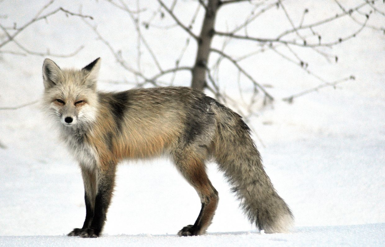 A curious fox mugs for the camera shortly after emerging at sunrise from its home near Steamboat's More Barn.