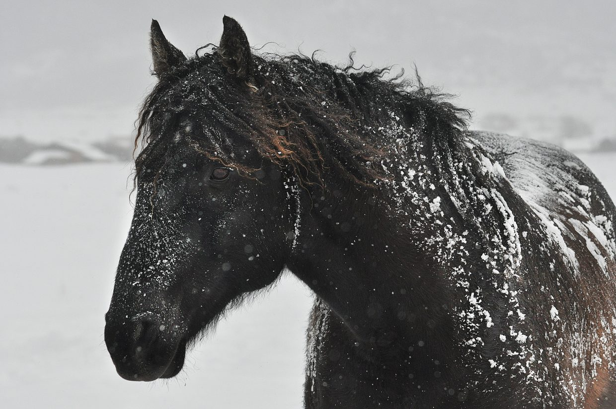 Snow and ice cover a horse south of Steamboat Springs following a snowstorm.