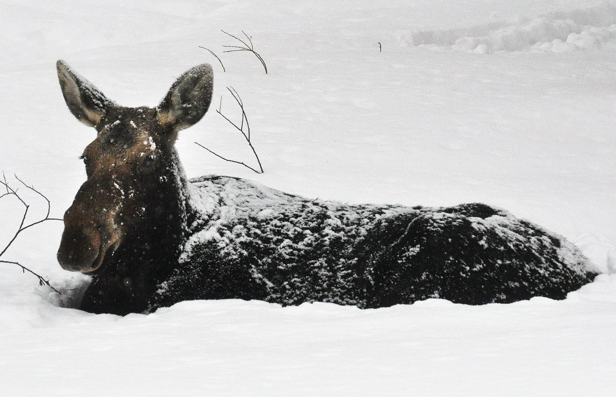 A mother moose relaxes in heavy snow near Hilltop Parkway.