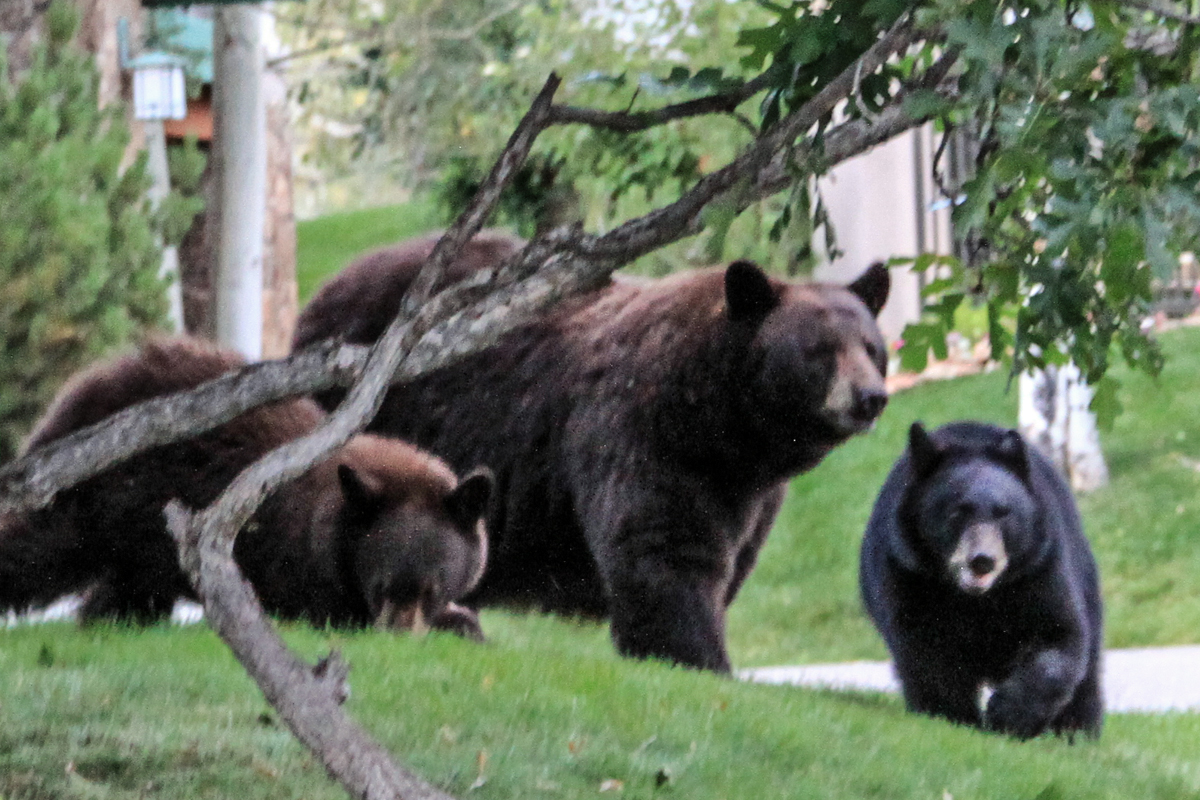The three bears in our yard. Taken at the top of Storm Meadows Drive on Monday evening. Submitted by: G. Fredric Reynolds