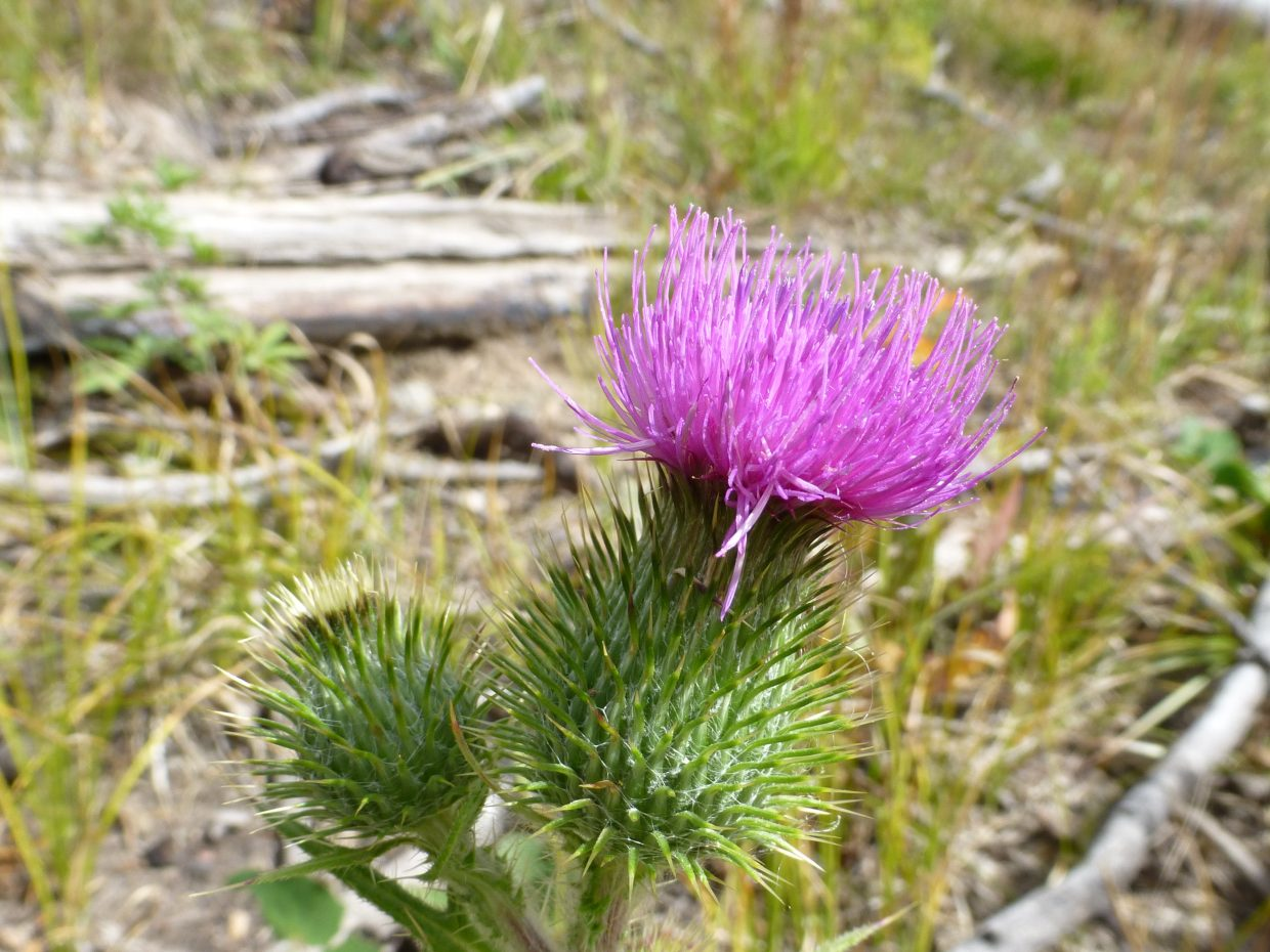 Thistle. Submitted by: Gail Hanley