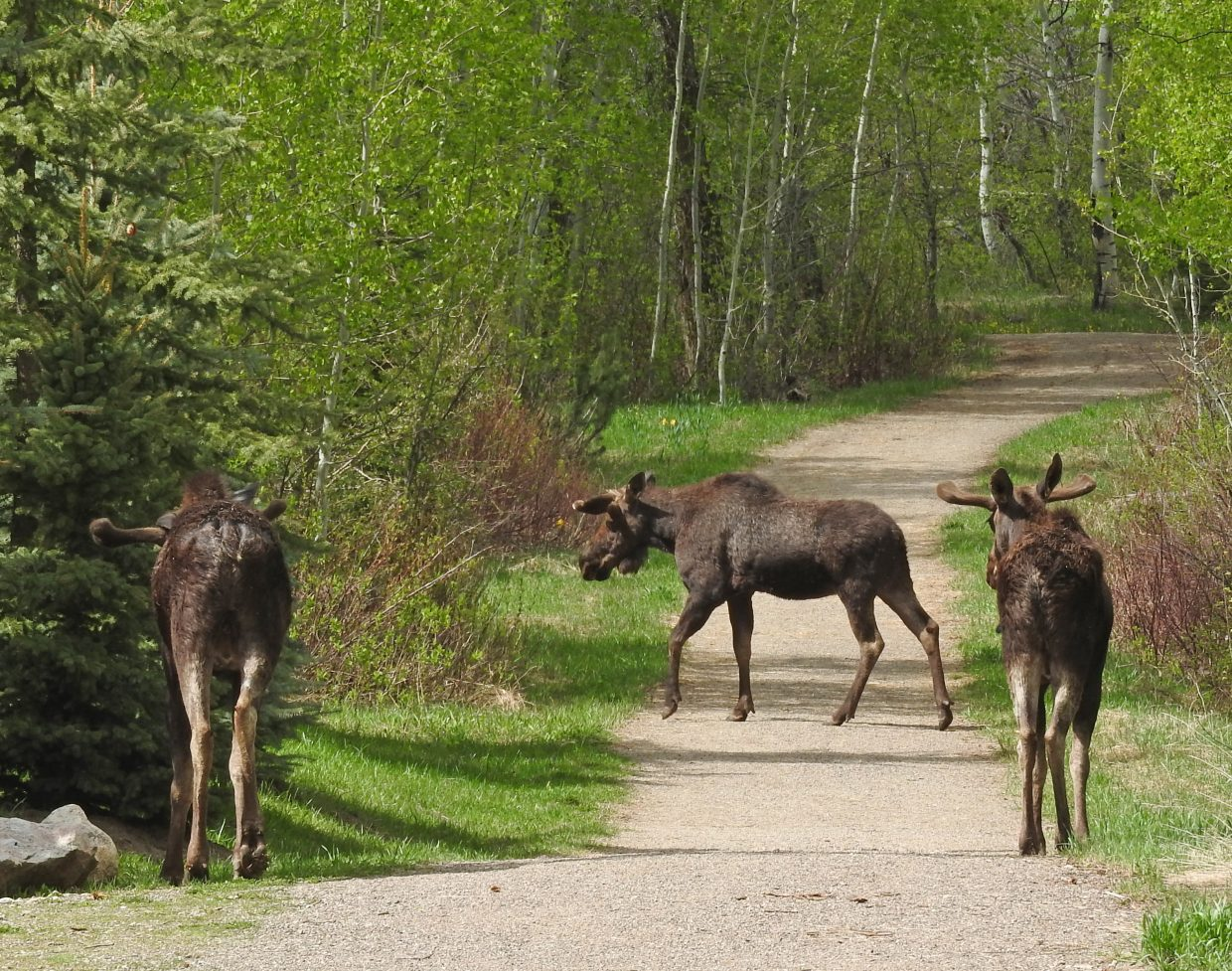 """""""An exciting day for wildlife on the Sanctuary Trail: 3 of 4 bull moose seen."""" Submitted by Tresa Moulton."""