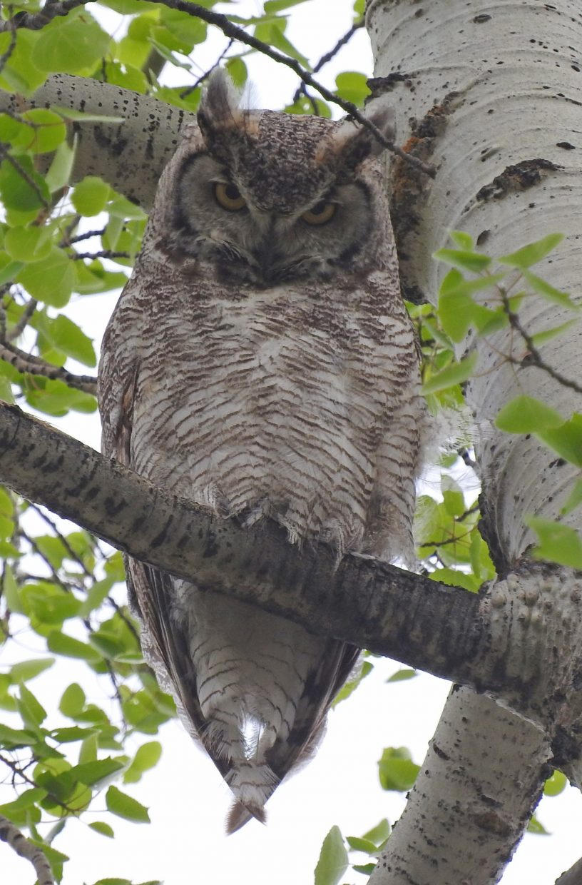 """""""An exciting day for wildlife on the Sanctuary Trail: Great Horned Owl."""" Submitted by Tresa Moulton."""