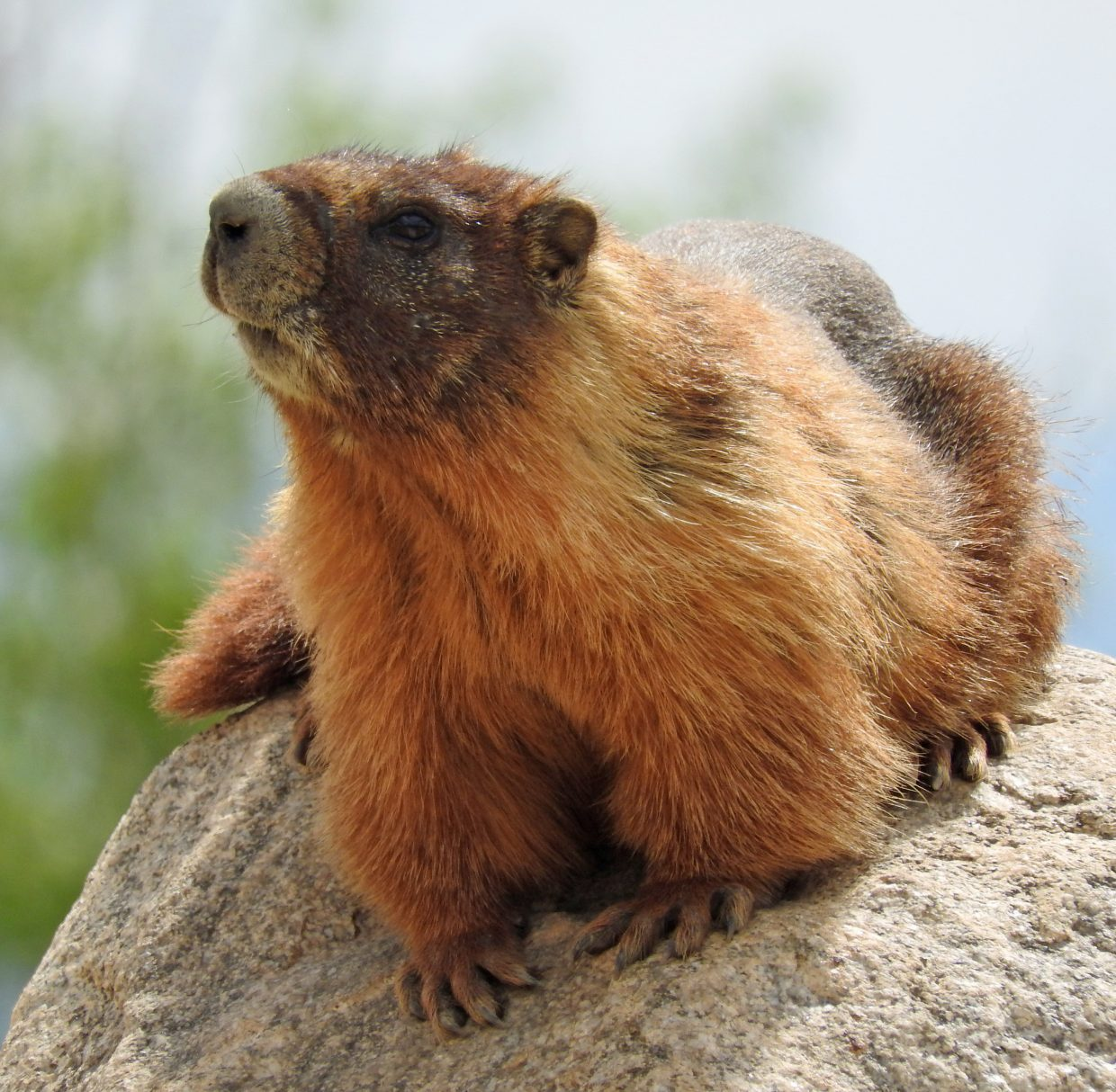 """""""An exciting day for wildlife on the Sanctuary Trail: Yellow-bellied Marmot sunning on a rock."""" Submitted by Tresa Moulton."""