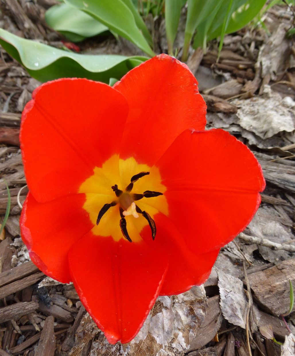 Tulip along the bike path. Submitted by: Gail Hanley
