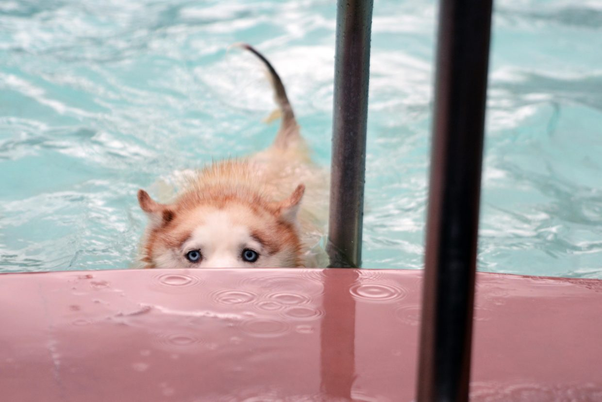 Kisa, a Siberian husky, swims her way out of the shallow pool Sunday during the Old Town Hot Springs' annual Poochy Paddle, a benefit for the Steamboat Springs Animal Shelter.