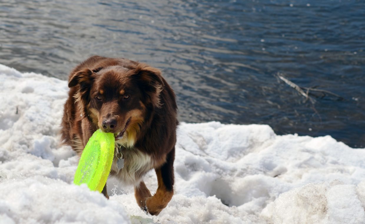 Zephyr, a 1 1/2-year-old Australian shepherd, plays along the banks of the Yampa River in downtown Steamboat Springs on Sunday morning with his owner, Betsy Fig. Blue skies again blanketed the sky in the Yampa Valley on Sunday.