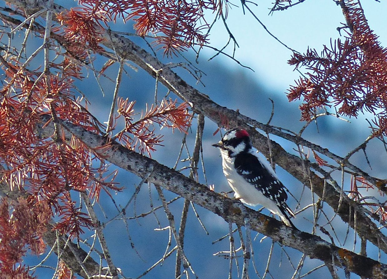 Downy woodpecker by Fish Creek. Submitted by: David Moulton