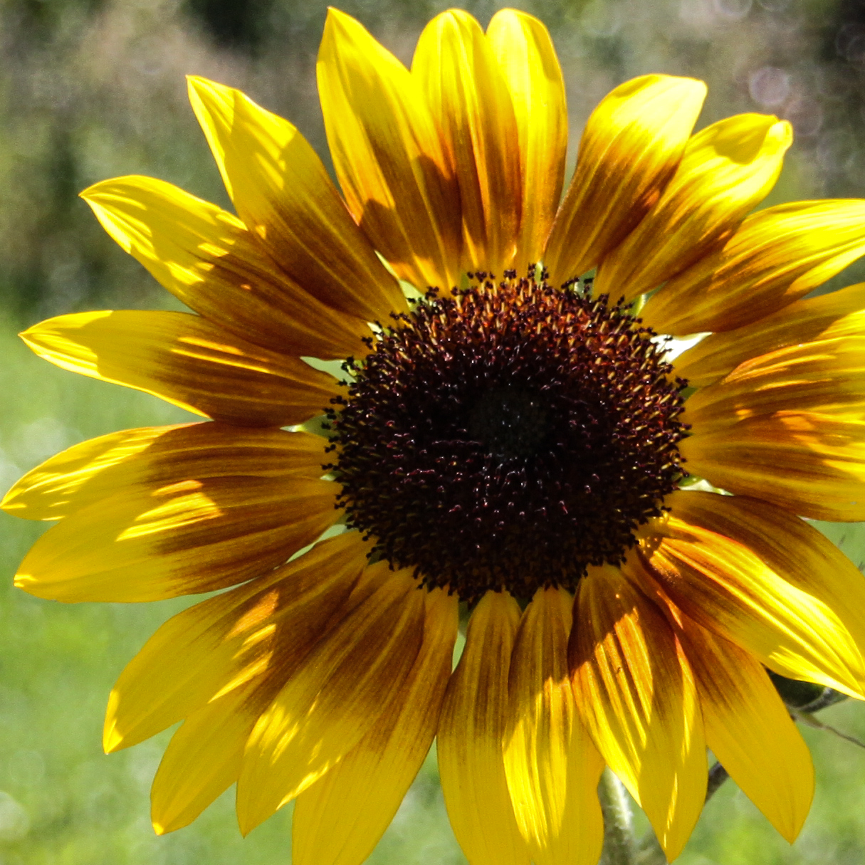 Sunflower enlargement. Submitted by G. Fredric Reynolds.