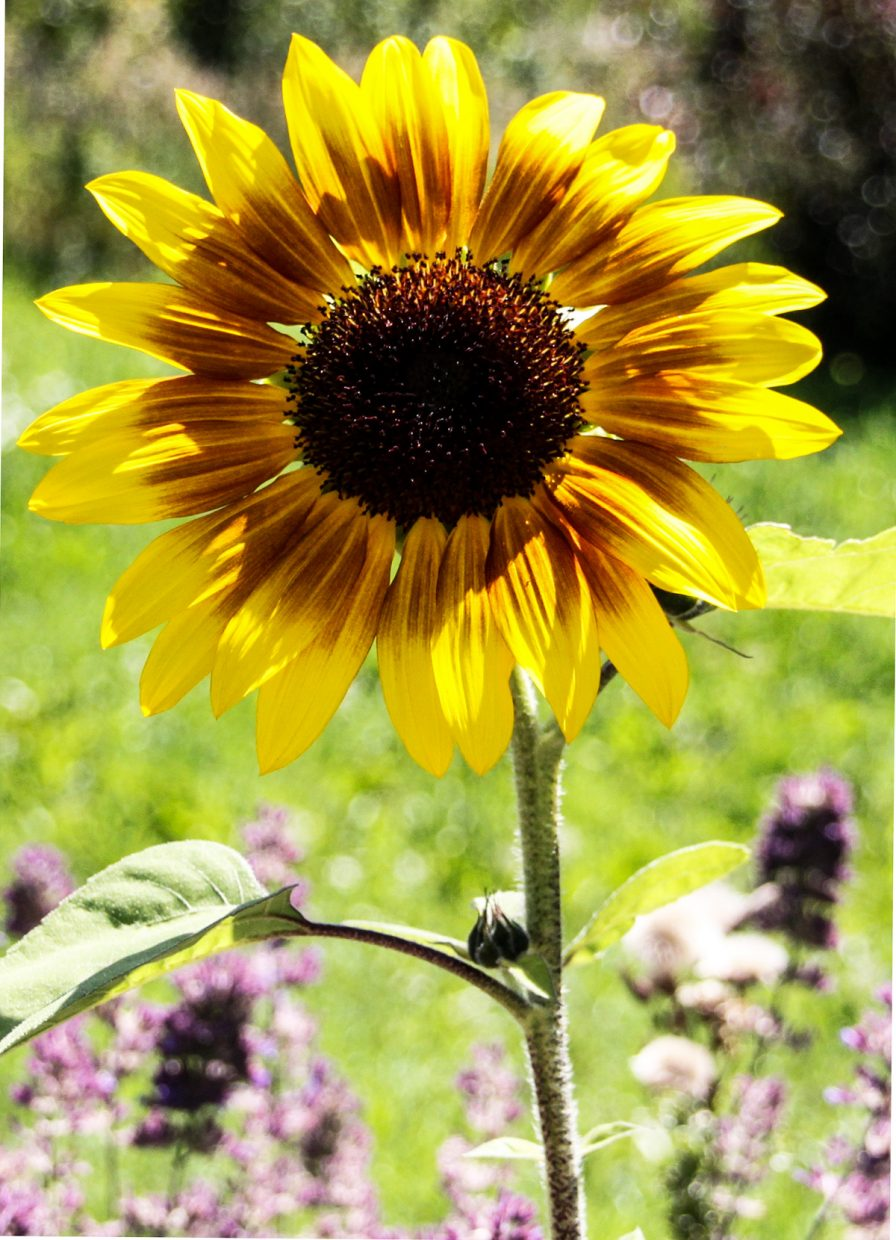 Sunflower. Submitted by G. Fredric Reynolds.