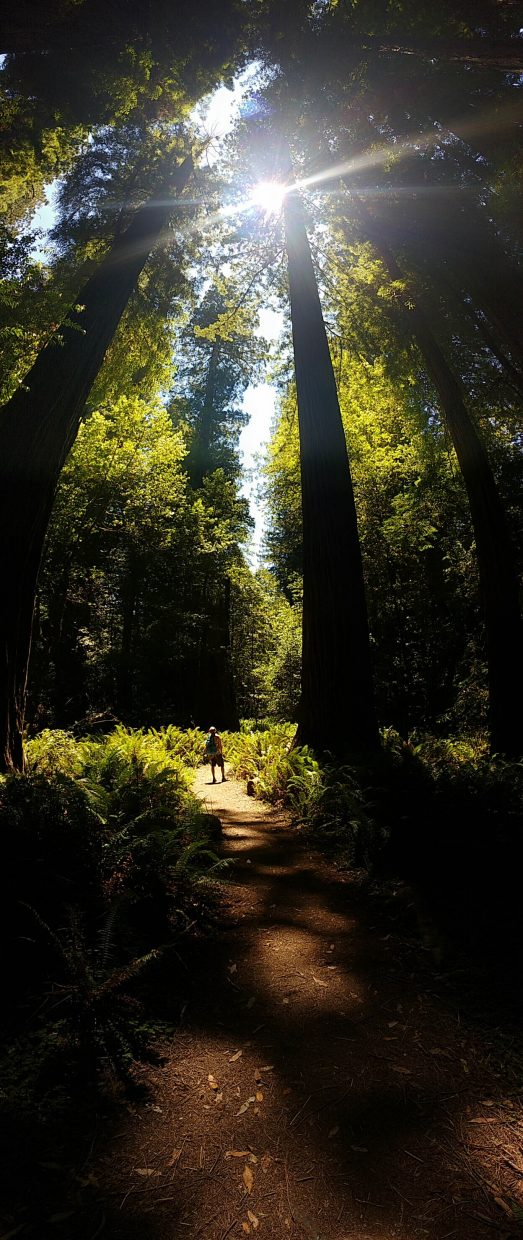 Giant trees of Redwood Nation Park in California.
