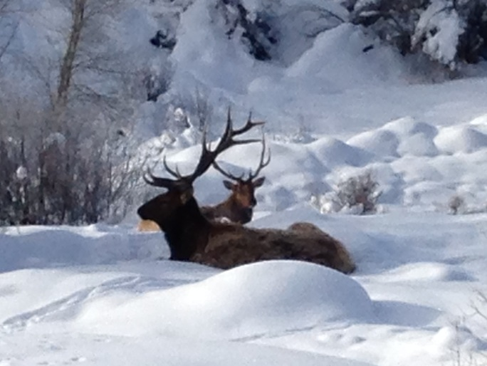 Elk resting near Hilltop and Lincoln on Saturday. Submitted by: Aaron Brinkman
