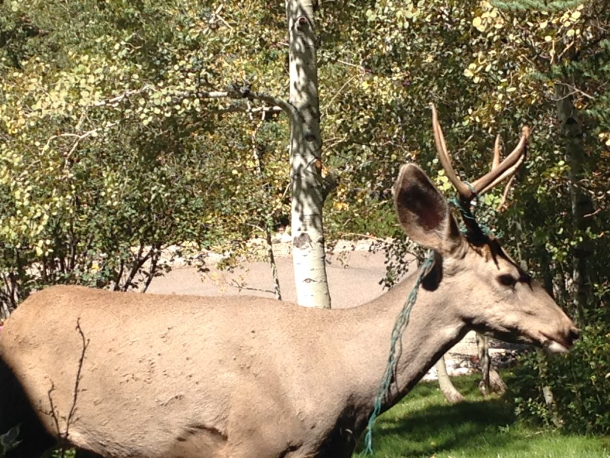 Lighted Buck on Blackberry Lane 9/7/14. Submitted by: Sharry Roundtree
