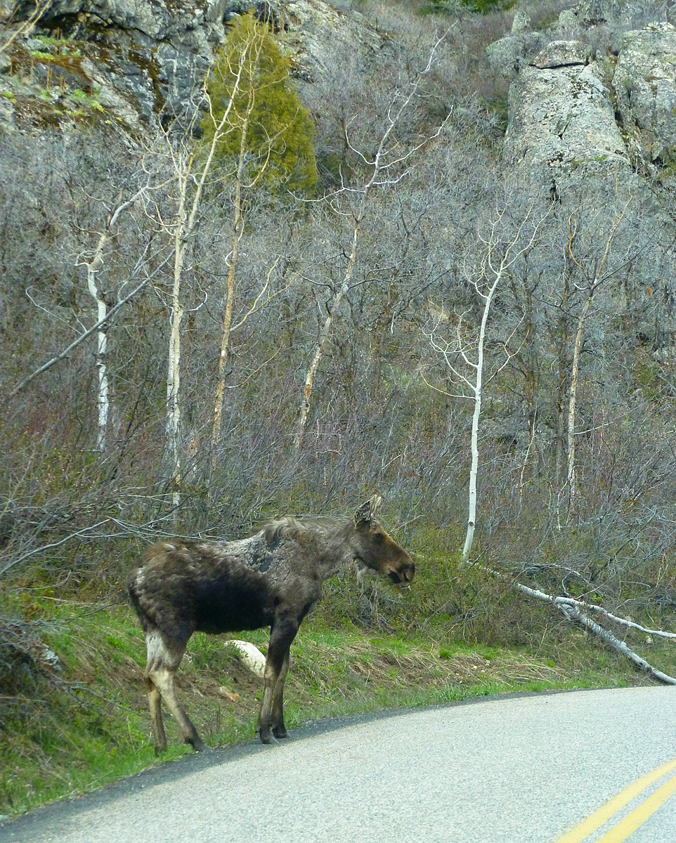A young moose on the road to Fish Creek Falls. Submitted by Carol Peregoy.