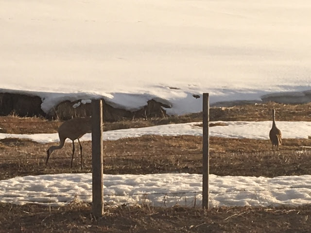 Spring is here! Sandhills arrive on Elk River Road. Submitted by Cindy Enlow.