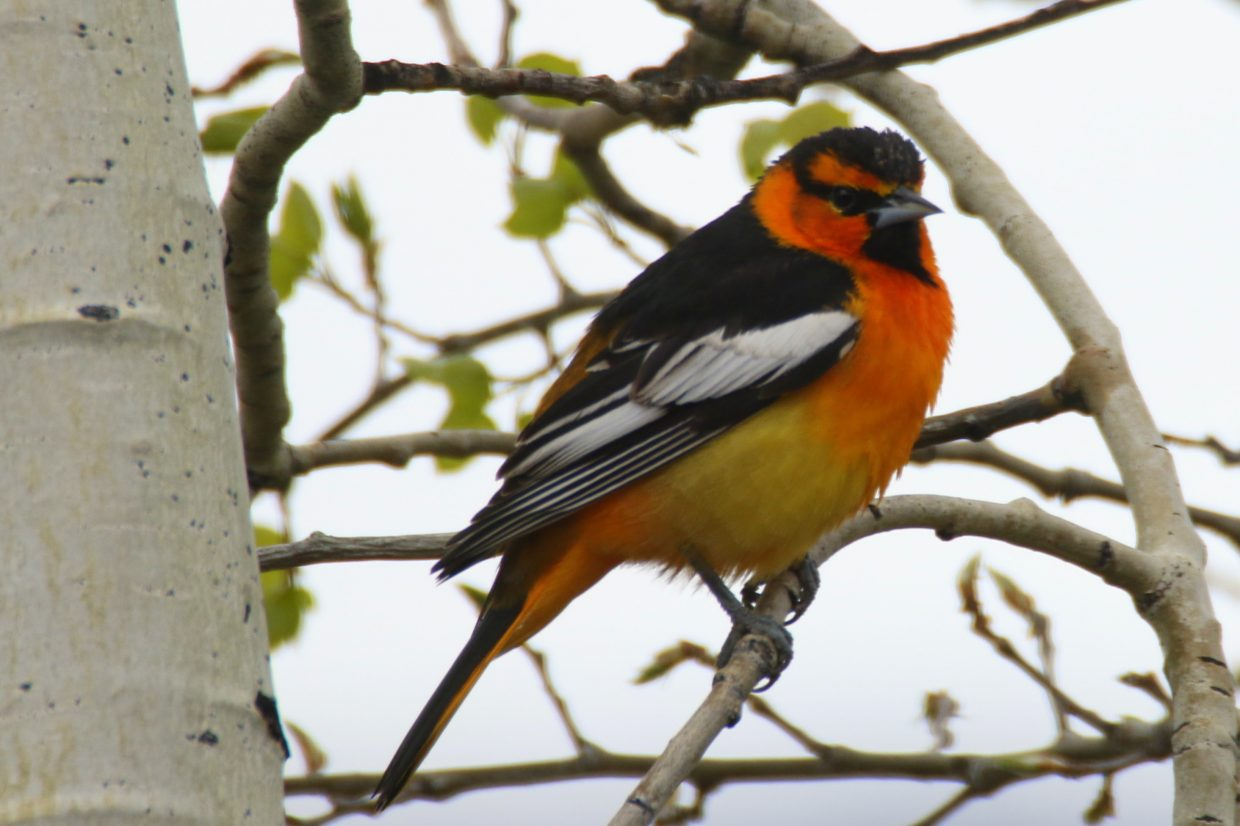 """Bullock's Oriole."" Submitted by Diane Miller."