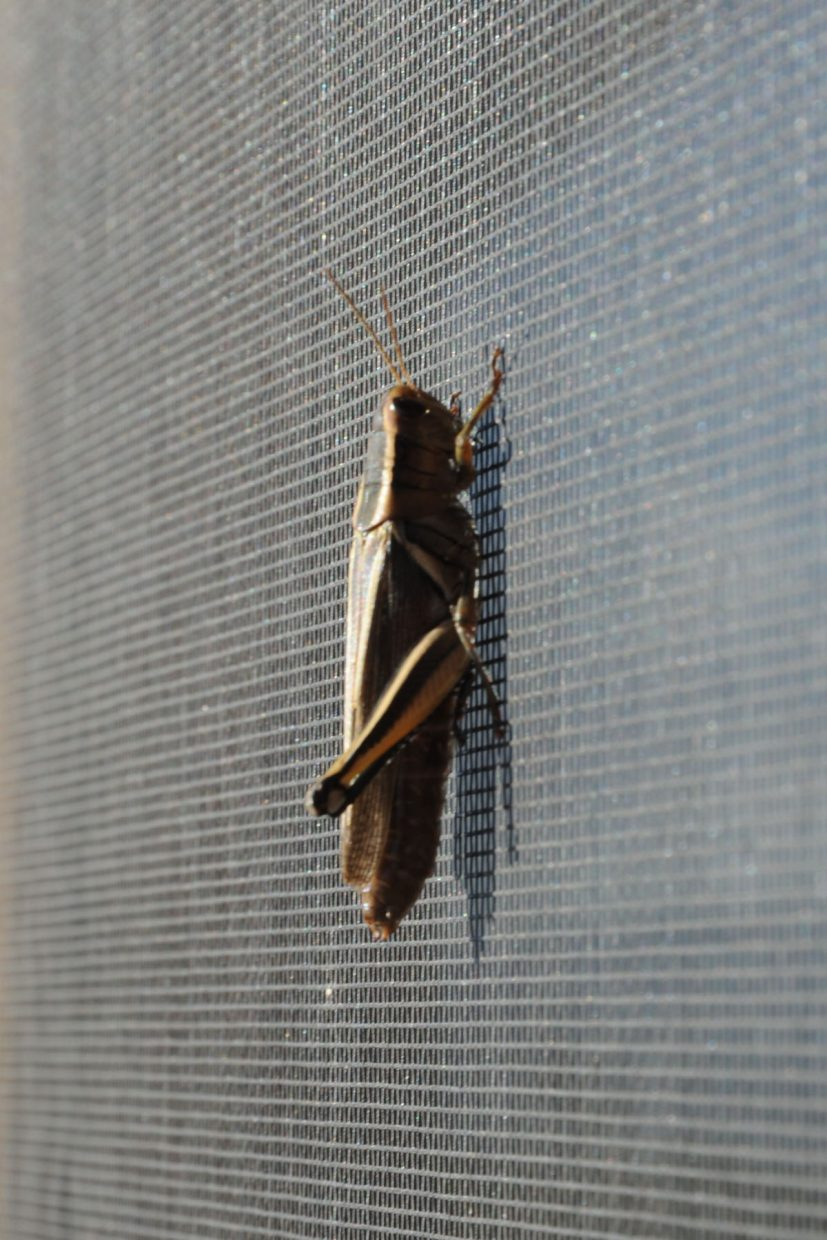 This guy has been on our screen door for about 20 hours now ... Submitted by Lee McShane Cox.