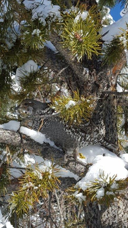 """""""This is a picture of a grouse my dog Sydney spotted in a tree on the West Summit of Rabbit Ears Pass. Check out how well he is camouflaged with the tree branch!"""" Submitted by Linda Liman."""