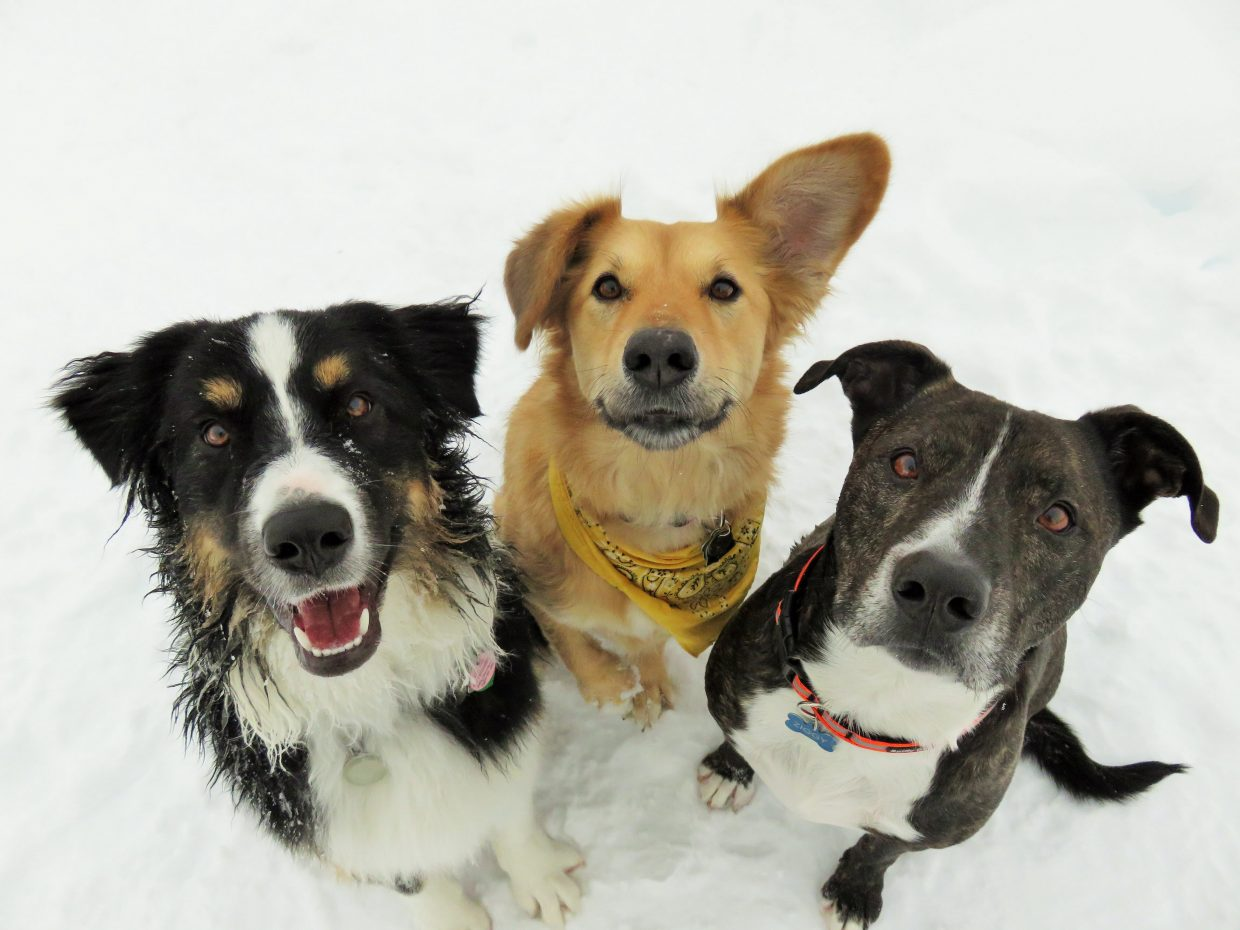 """""""Skiing up on Emerald with these powder pups: Indiana Jones (owner Jason Kaplan), my dog Millie, and Ziggy (Mary Lourenco)."""" Submitted by Amanda Dorsch."""