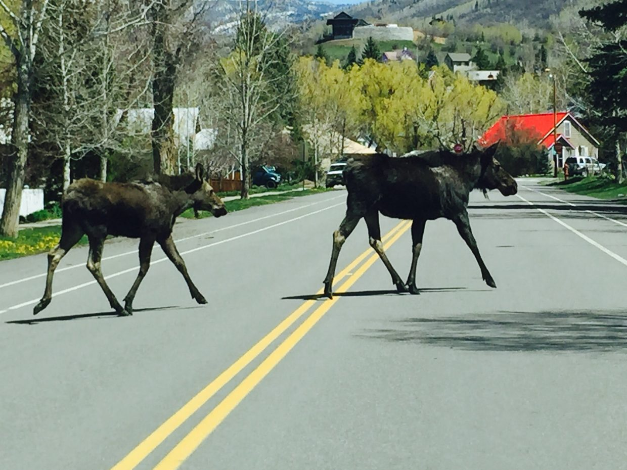 7th Street moose crossing. Submitted by Sarah Anderson.