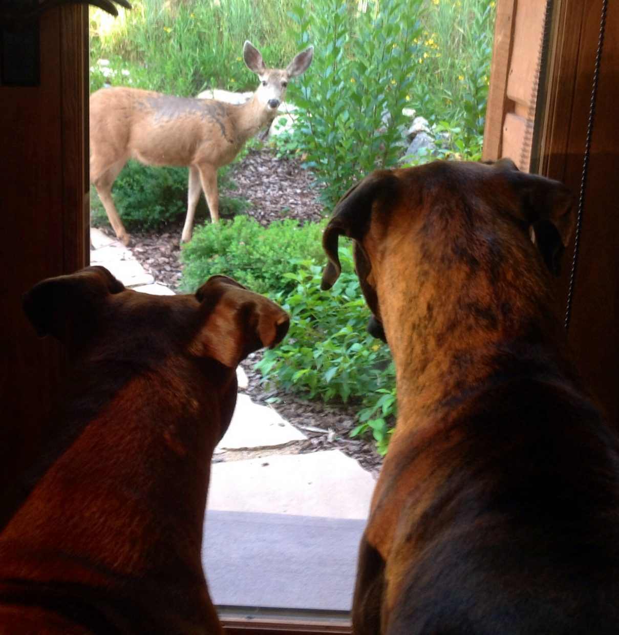 The Gardener... Boxers Jake & Chance Gannett watch a deer as he makes his way through the garden at their home in Steamboat. Submitted by Jenny Gannett.