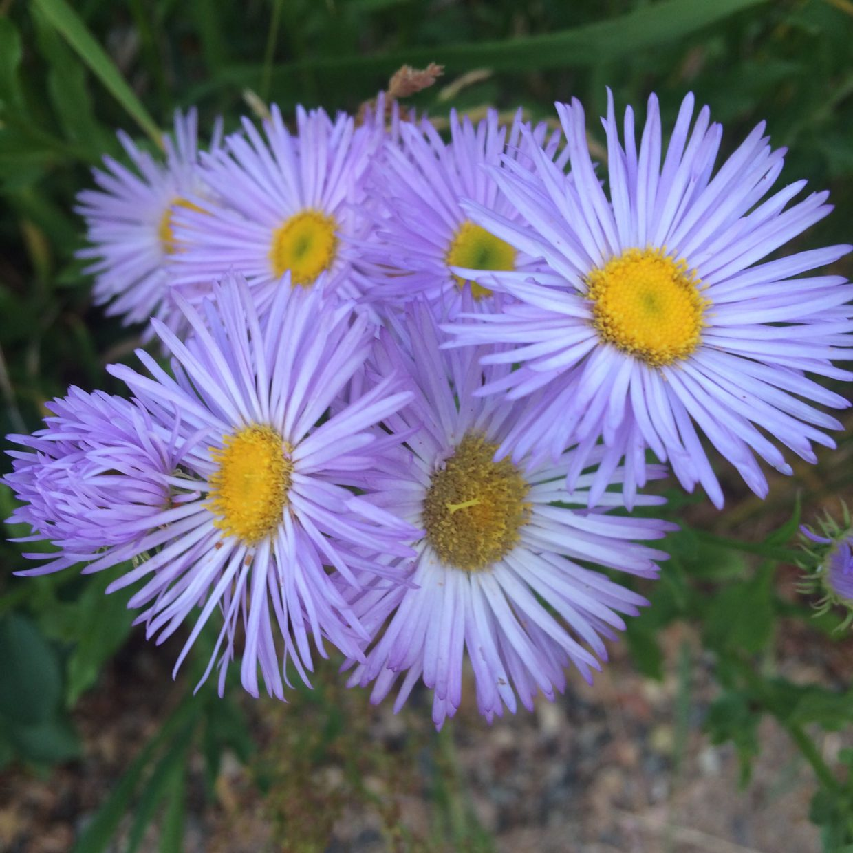 Wildflowers of Steamboat. Submitted by Linda Briseno.