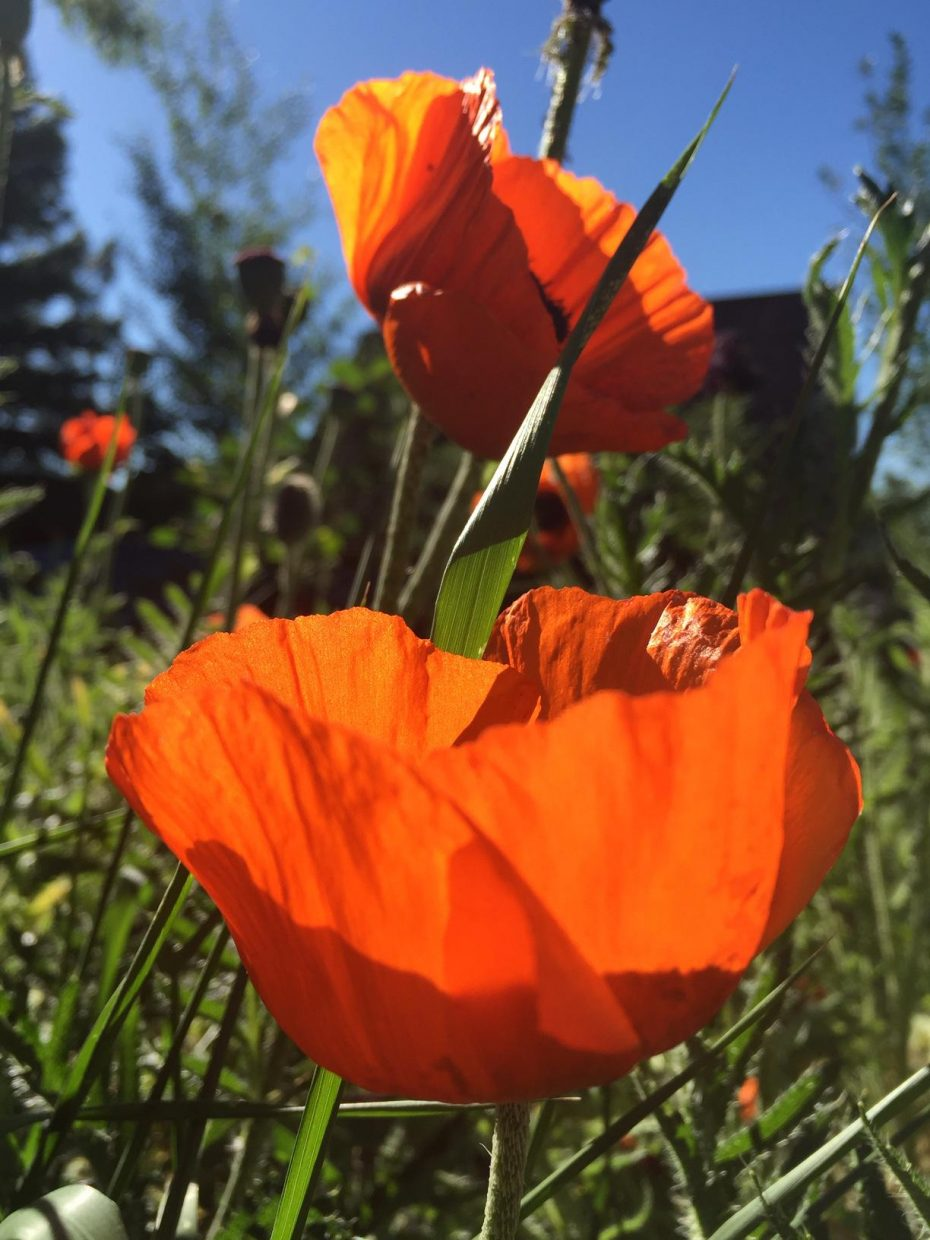 More poppies! Submitted by Caroline Lerew.