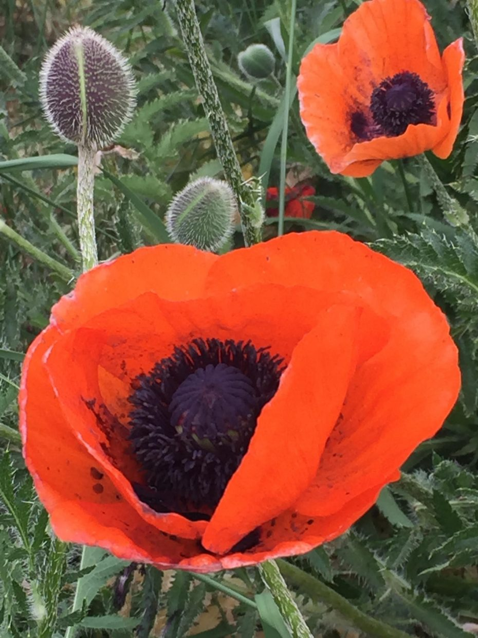 Poppies! Submitted by cblerew.