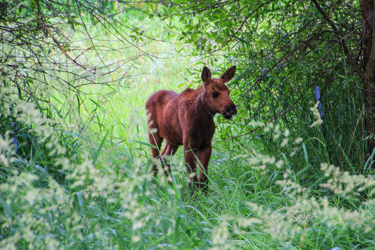 Moose and calf in Rotary park next to the yampa. Submitted by Sparky Paessler.