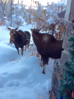 They wandered in around 4:30 and chewed one my shrubs untill well after dark. Submitted by Edward Vanderwall.