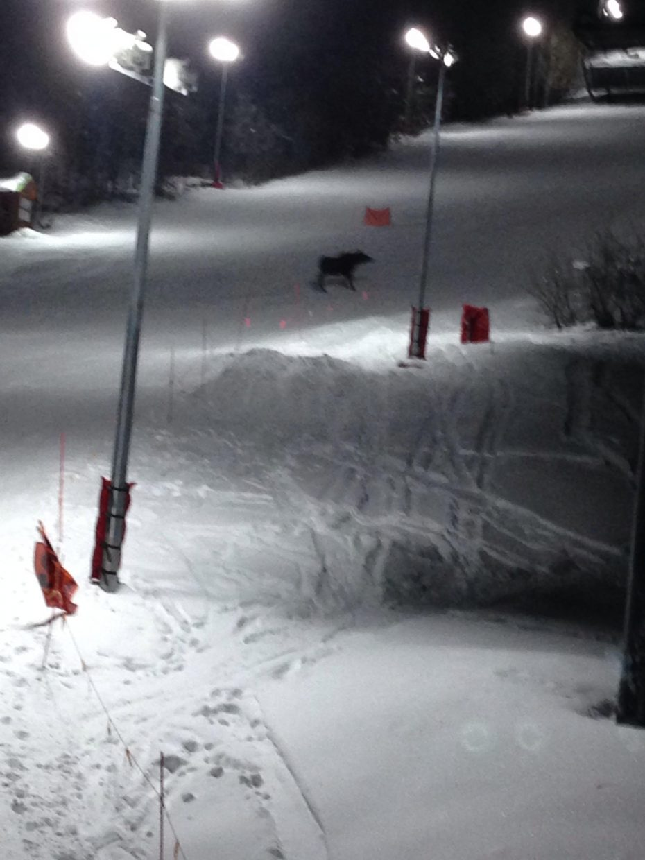 While night skiing Sunday. Behold moose wandered across 'see me' how appropriate. Submitted by: Jim Bain