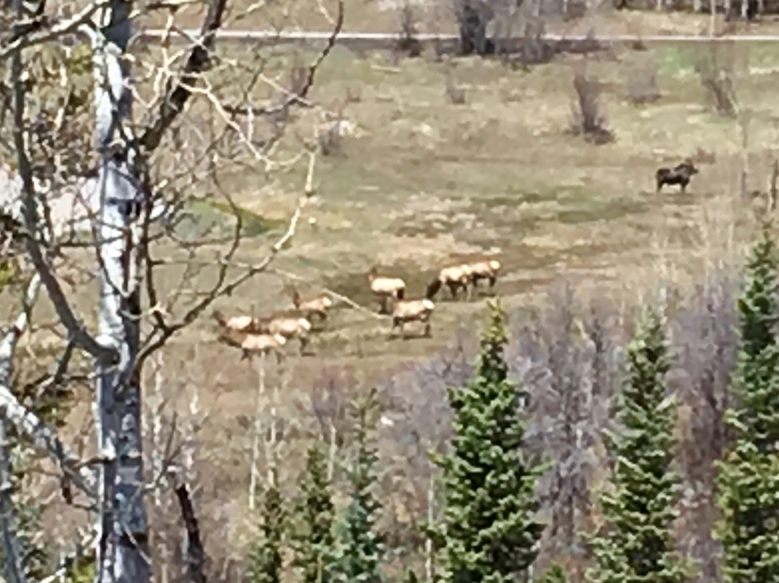 Elk herd and moose at The Ranch. Submitted by Denny Phillips.
