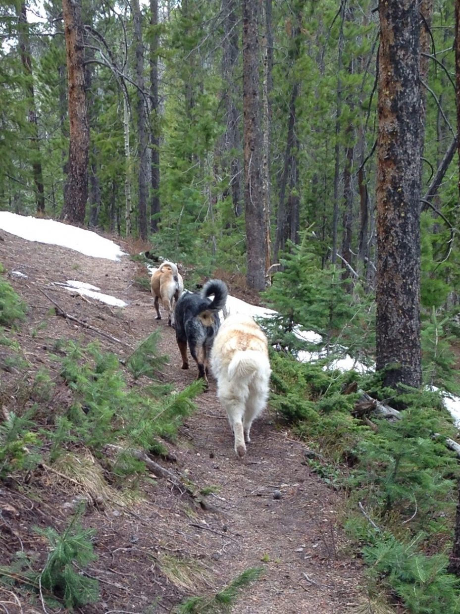 The three amigos Bloo, Peaches, and Deja. With Eric and Tiffany at Silver Creek Trail in the Sarvis Creek Wilderness. Submitted by: Eric Seams