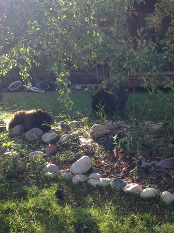 Sow and cubs near Emerald Park. Submitted by: Renee May