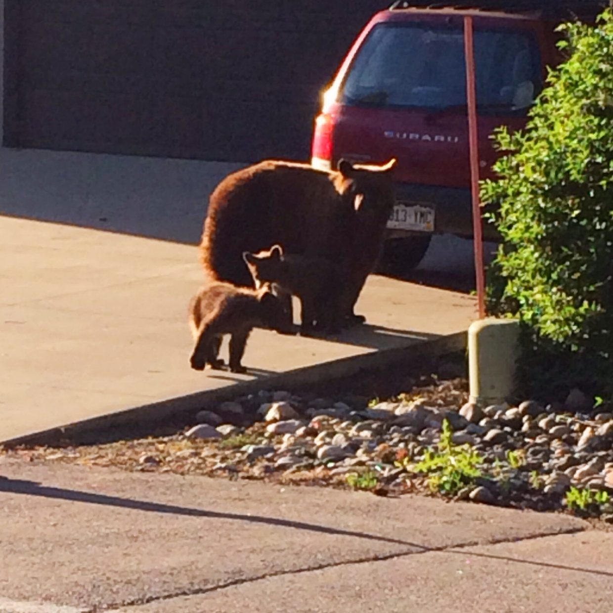 Mama bear and her cubs spotted near the core path behind Freshies. Submitted by: Ann Westby