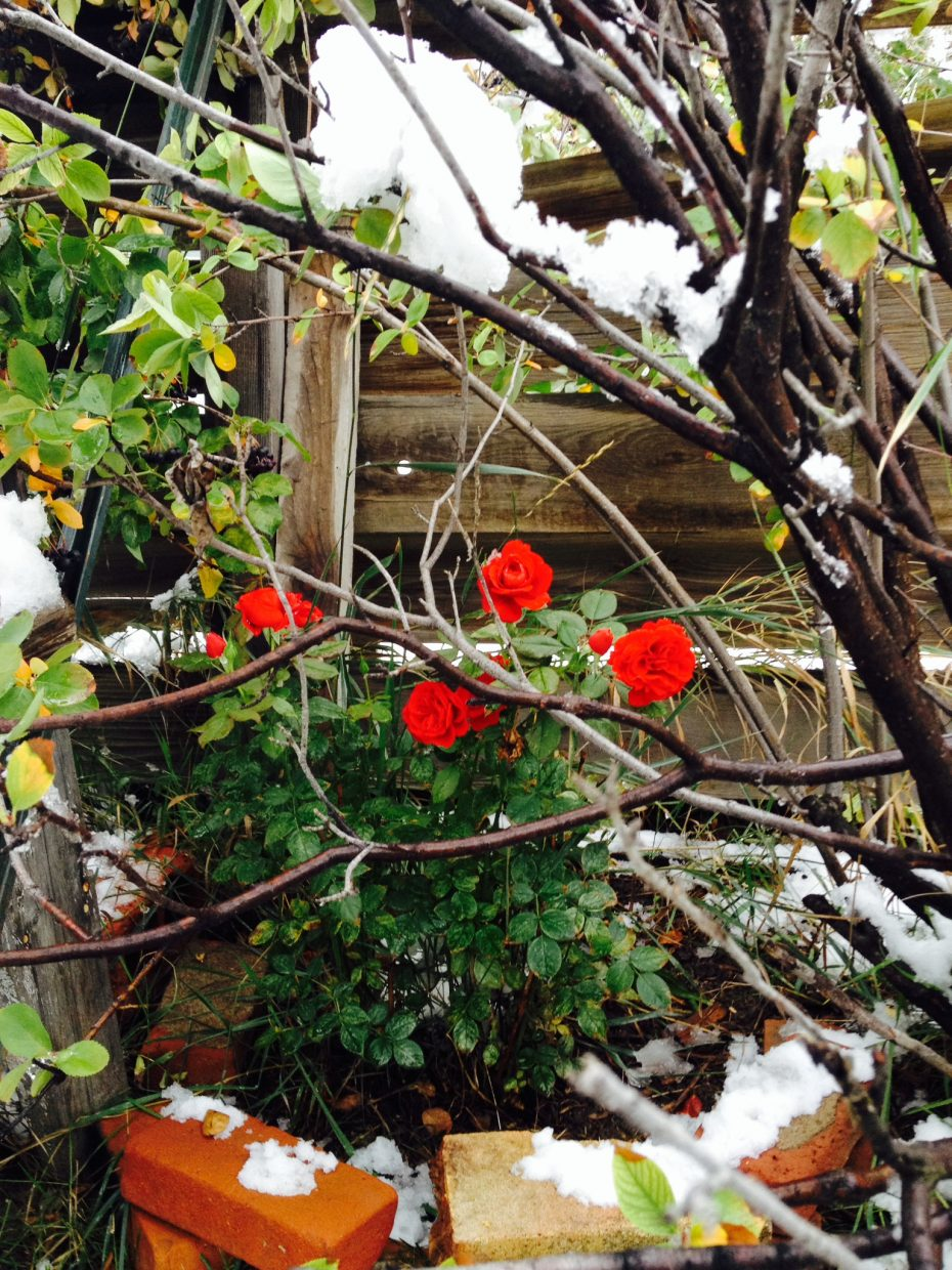 Roses in the snow. Submitted by: Julie Smith