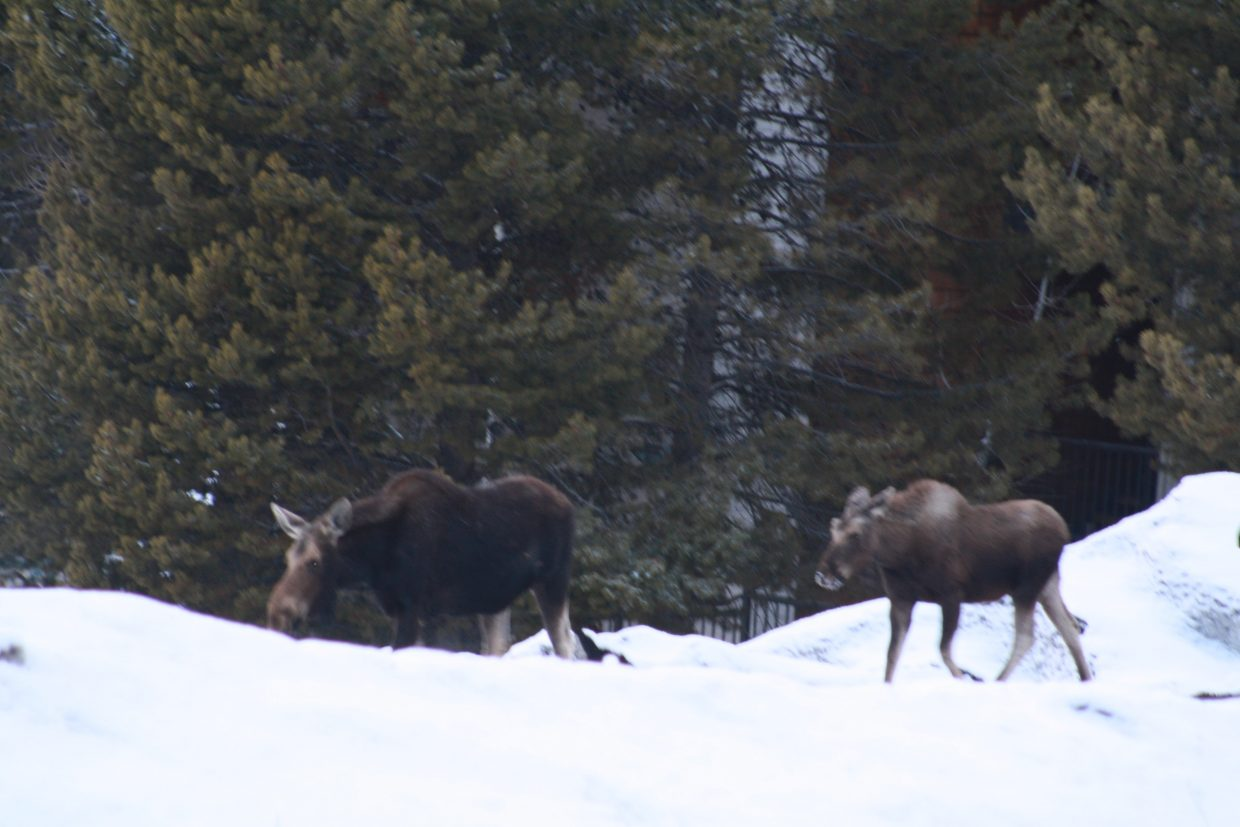 Moose on the Loose! Submitted by Jen Summers.