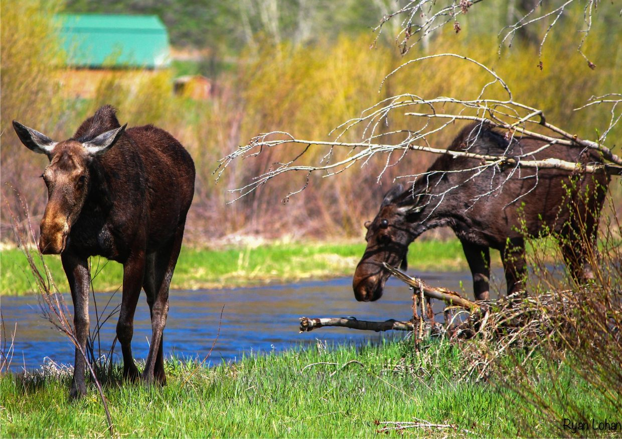 Moose morning on the Yampa River. Submitted by: Ryan Lohan