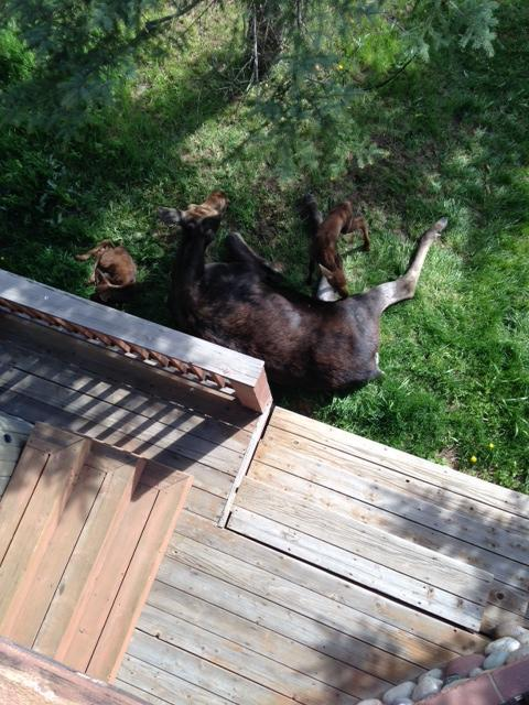 Mama and two calves. Observed at a house in Steamboat, photo taken from a deck. Submitted by: Chris Martin