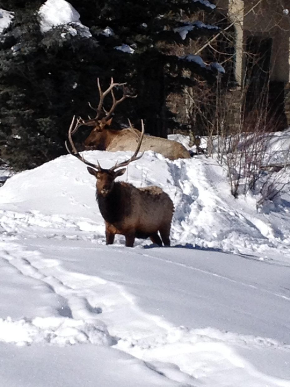 Elk. Submitted by: Michael Osterman