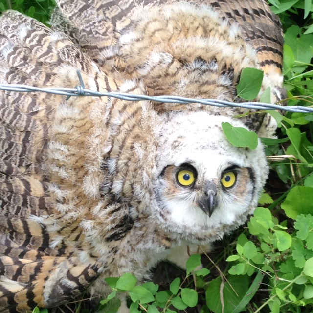 Found this unhurt but stuck great horned owlet yesterday near Oak Creek. Lifted up the wires and he was free. Submitted by: Mike Kent