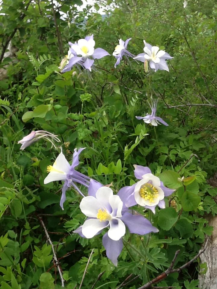 Columbine near Clark. Submitted by: Joanne